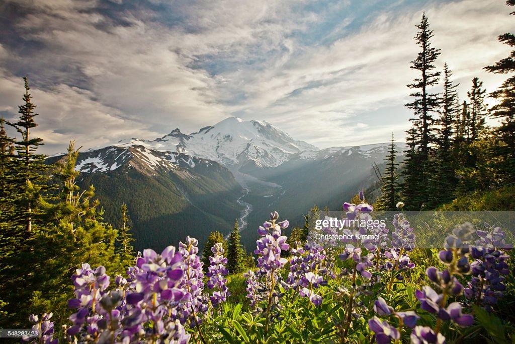 Wildflowers in Mount Ranier National Park