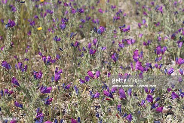 Wildflowers in the Natural Park of Cabo de Gata