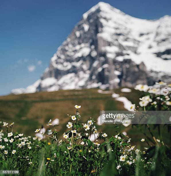 Wildflowers in the Swiss Alps