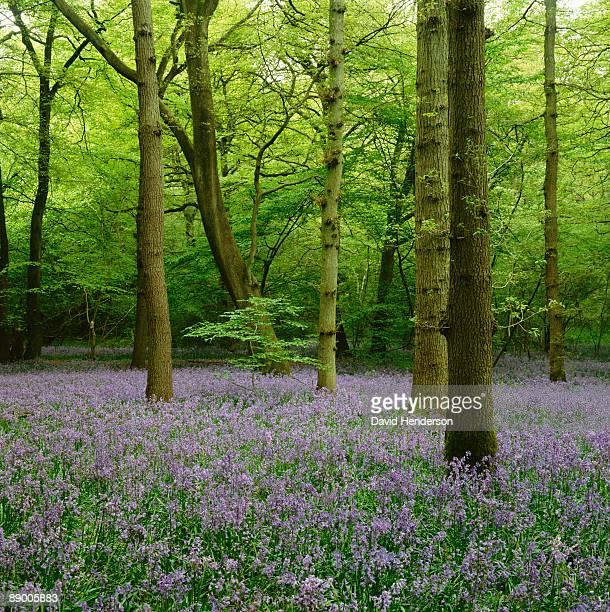 Wildflowers in woods in Surrey, England
