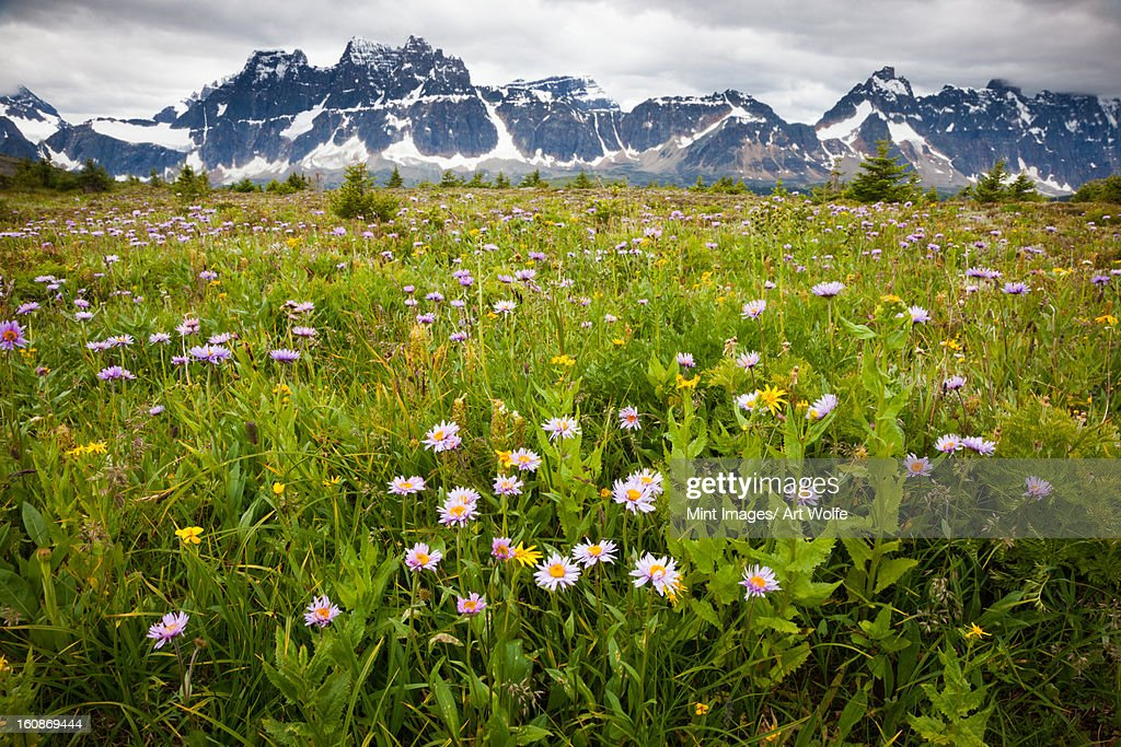 Wildflowers, Jasper National Park, Alberta, Canada : Stock Photo