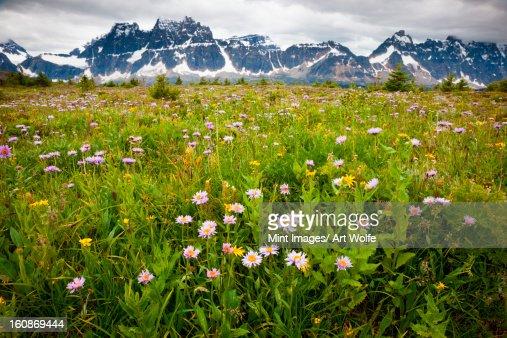 Wildflowers, Jasper National Park, Alberta, Canada : Stock Photo
