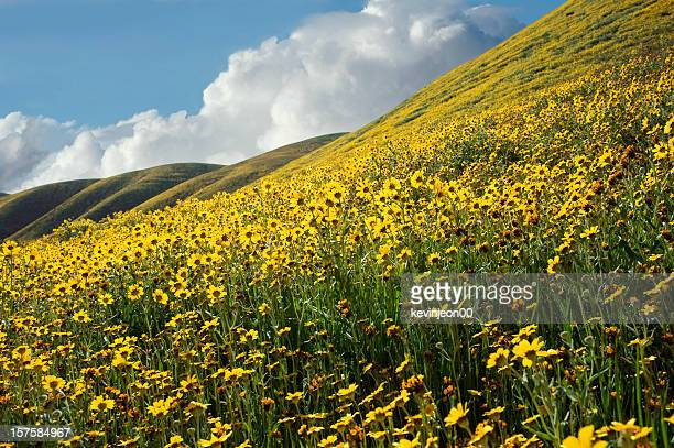 Wildflowers of Southern California