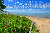 Summer wildflowers bloom on the shores of a sandy Lake Michigan beach in the Hiawatha National Forest in Brevoort, Michigan.