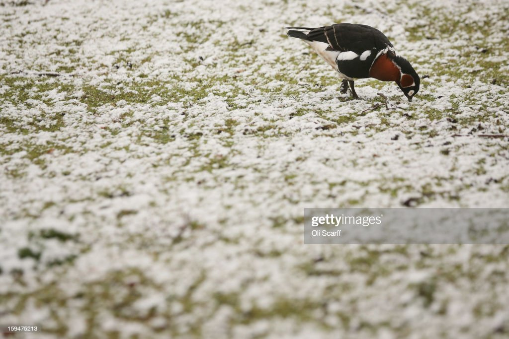 A wildfowl walks through dusting of snow in St James's Park in freezing temperatures on January 14, 2013 in London, England. Several counties in England have received light snowfall overnight. Met Office forecasters are warning of a very cold week throughout the UK and heavier snow predicted to fall across much of the country.
