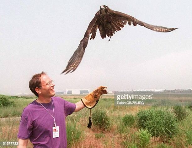 Wildlife biologist Steven Garber of JFK International Airport's Bird Hazard Management Program releases a peregrine falcon for flight over the...