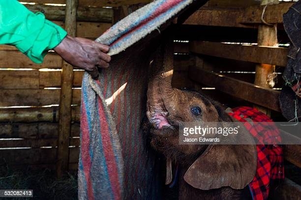 A wildlife carer sleeping in a wildlife shelter barn with an orphaned African Elephant calf.