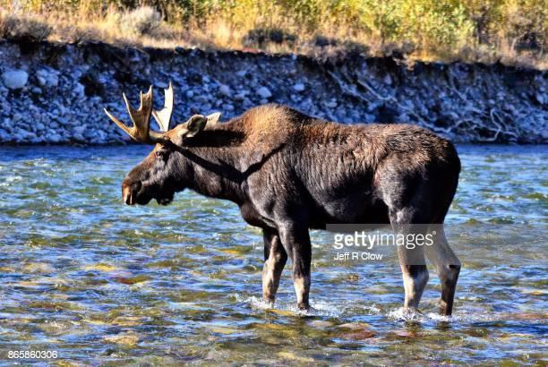 Wildlife in Wyoming - Morning Moose 2