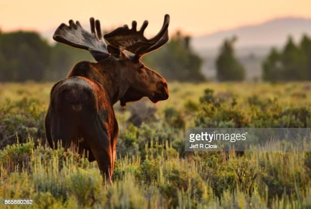 Wildlife in Wyoming - Morning Moose
