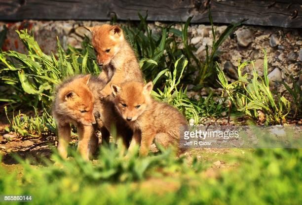 Wildlife in Wyoming - Pups 3