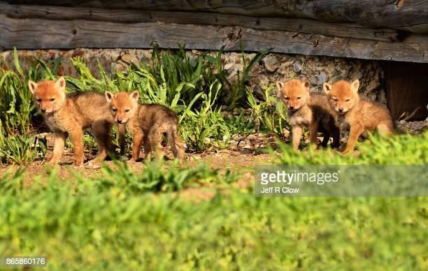 Wildlife in Wyoming - Pups 4