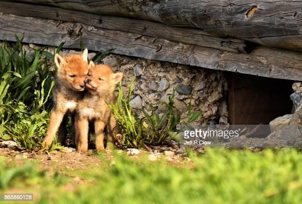 Wildlife in Wyoming - Pups
