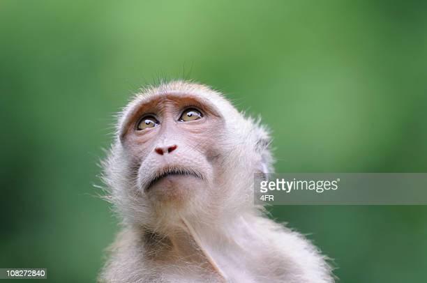 野生猿ポートレートカオ Sak 国立公園