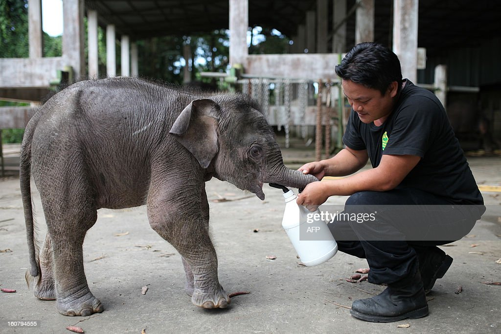 A wildlife official attends to an orphaned three-month-old baby pygmy elephant 'Joe' at Lok Kawi Wildlife Park in Kota Kinabalu in Malaysia's Sabah state on February 6, 2013. Malaysian authorities will offer a 50,000 ringgit (16,000 USD) reward for information on 14 rare Borneo pygmy elephants found dead last month if it is confirmed they were poisoned, officials said on February 6. AFP PHOTO / MOHD RASFAN