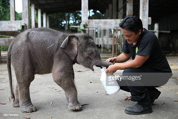 A wildlife official attends to an orphaned threemonthold baby pygmy elephant 'Joe' at Lok Kawi Wildlife Park in Kota Kinabalu in Malaysia's Sabah...