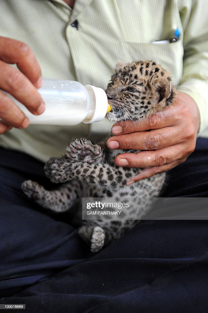 A wildlife park keeper nurtures one of two leopard cubs at the Indroda Nature Park in Gandhinagar, some 30 kms from Ahmedabad on May 20, 2010. The cubs were deserted by their mother nearly a month ago in a sugarcane field in Chikhli Taluka of the Navsari district. The local farmers handed over the leopard cubs to the Forest Department officials and currently their health and diet are being closely monitored in a bid to save them. AFP PHOTO/ Sam PANTHAKY