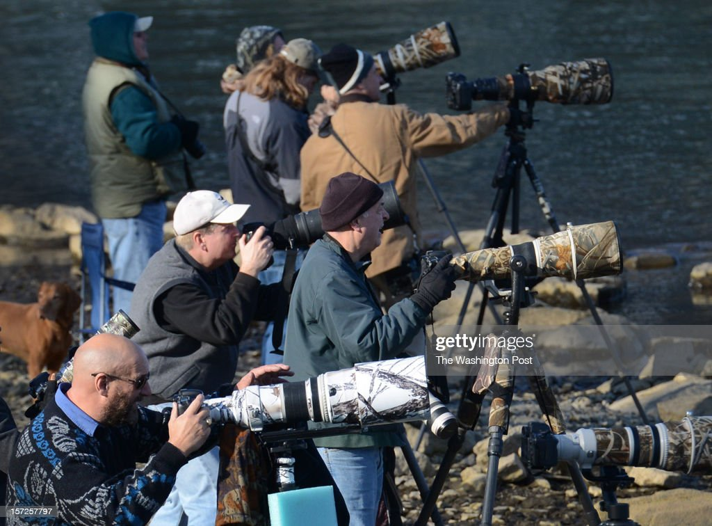 Wildlife photographers watch American bald eagles hunt for fish below Conowingo Dam in Harford County, Maryland on November 29, 2012. On most days between Thanksgiving and into January, the shallow waters becomes a prime spot to watch 20-50 eagles hunt for prey along the Susquehanna river. Fish that are sucked through the dam turbines are easy pickings on the other side for eagles as well as buzzards, crows and seagulls. Once the first cold snaps hit in the north, the eagles migrate south for a few months. Wildlife photographers and bird enthusiasts far outnumber fishermen a the dam these days as they try to capture perfect shots of eagles hunting, mid-air fights and dining on fish. Binoculars or high powered lenses are recommended if you want to see the birds up close.