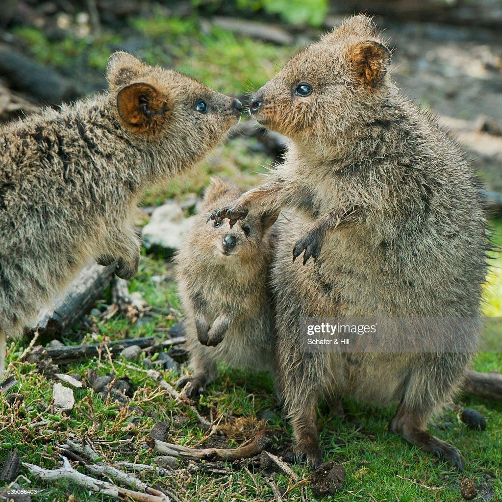 Happy quokka family