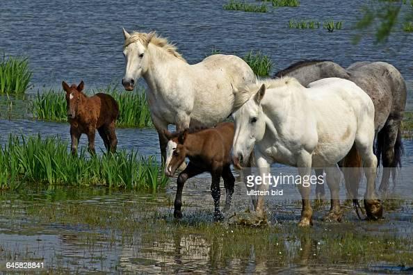 Wildpferde der camarque herde im wasser mit spiegelung pictures getty images for Spiegel camargue