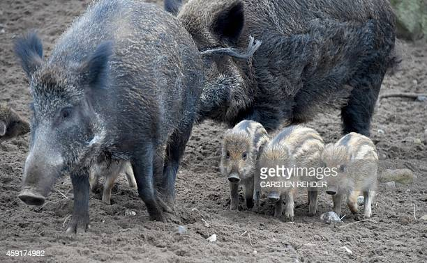 A wildpig and its offspring walk in an enclosure at Arche Warder zoo on November 18 2014 in Warder Germany AFP PHOTO / DPA / CARSTEN REHDER / GERMANY...
