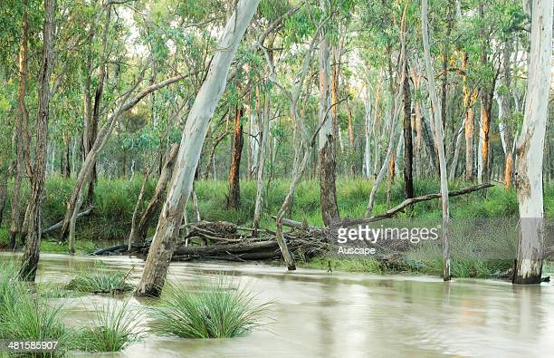 Wilkie Creek a tributary of the Condamine River flows through tall grassy forest of River red gums Eucalyptus camaldulensis in varied and biodiverse...