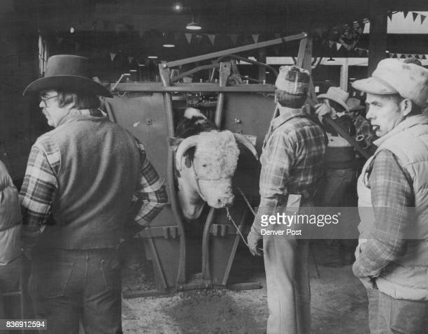 Will Wolf Of Spokane Wash Holds RB L1 Domino 751 While The Bull Is Processed The bull is owned jointly by Maple Lawn Hereford Farm Wheeler III and...
