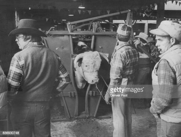 Will Wolf of Spokane Wash Holds RB L1 Domino 751 While the bull is processed The bull is owned jointly by Maple Lawn Hereford Farm Wheeler lll and...