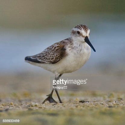 Willet on Fort Myers Beach 4 : Stock Photo