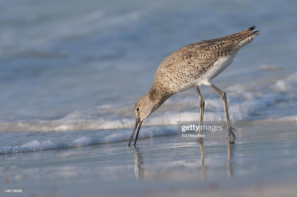 Willet probing for prey on Siesta Key Beach : Stock Photo