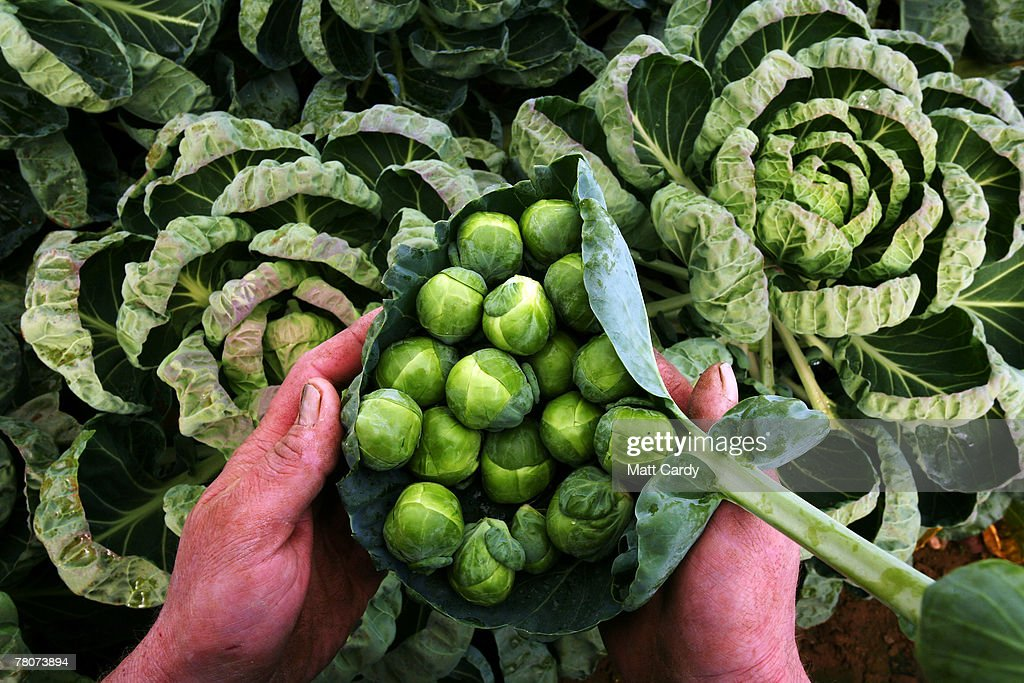 William Haines, a sprout farmer at Castle Farm, Chipping Campden examines some of the sprouts he is growing for Christmas on November 9 2007 in Gloucestershire, England. Sprouts and other vegetables are expected to be scarce this festive season after the summer floods left thousands of acres of crops rotting in fields, creating shortages which are now pushing up prices to shoppers.