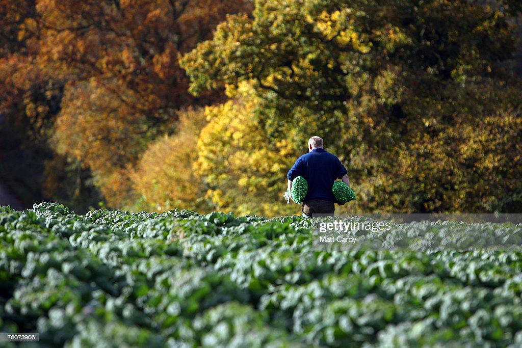 William Haines, a sprout farmer at Castle Farm, Chipping Campden walks in his field full of sprouts he is growing for Christmas on November 9 2007 in Gloucestershire, England. Sprouts and other vegetables are expected to be scarce this festive season after the summer floods left thousands of acres of crops rotting in fields, creating shortages which are now pushing up prices to shoppers.