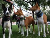William Key a volunteer for Basenji Rescue and Transport takes a group of Basenji dogs out for a walk around Logan Circle Park on October 14 in...