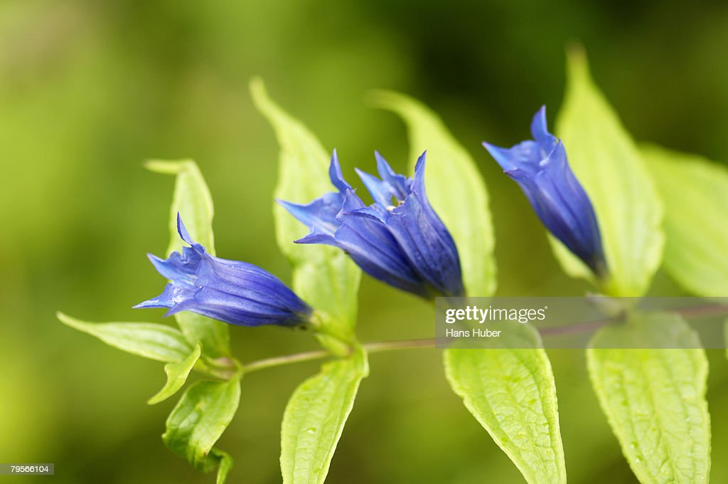 'Willow gentian, Gentiana asclepiadea, close-up'