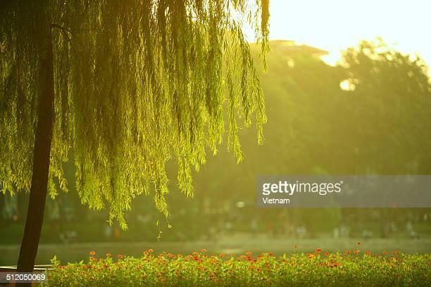 Willow in autumn sunshine