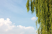 Willow leaves against blue sky