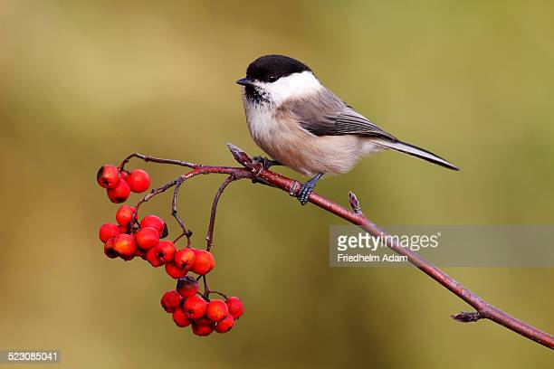 Willow Tit -Parus montanus- perched on a branch with red berries, Rowan or Mountain Ash -Sorbus aucuparia-, Neunkirchen, Siegerland district, North Rhine-Westphalia, Germany, Europe