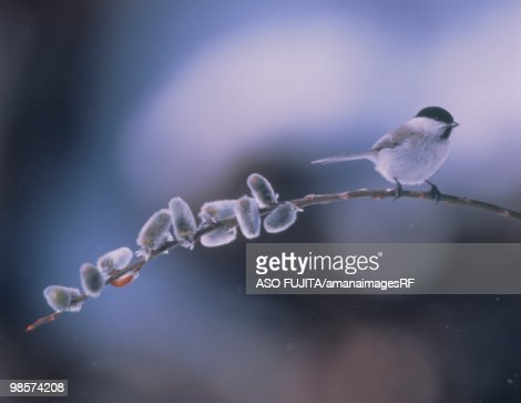 Willow Tit perched on an icy branch : Foto de stock