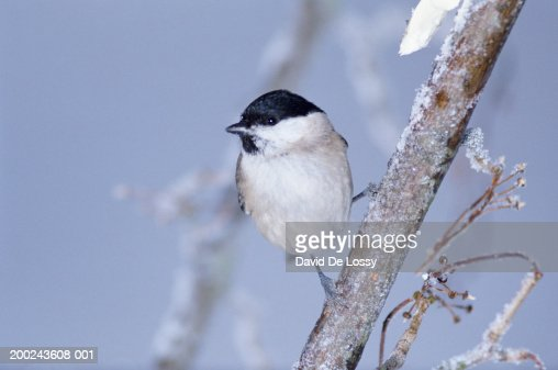 Willow tit perching on frosty branch