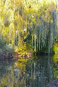Willow Tree In A Garden
