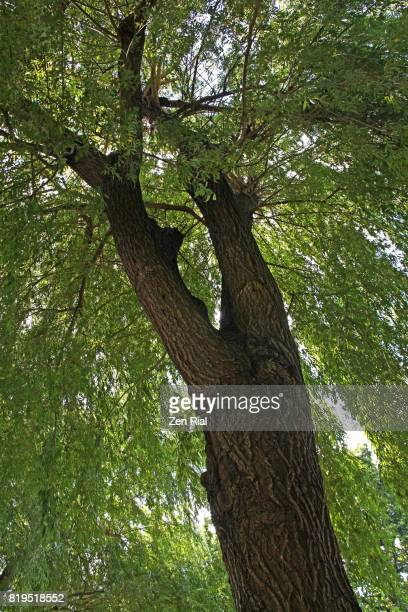 Willow tree - looks like a weeping willow