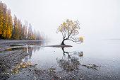 Willow Tree of Lake Wanaka, New Zealand