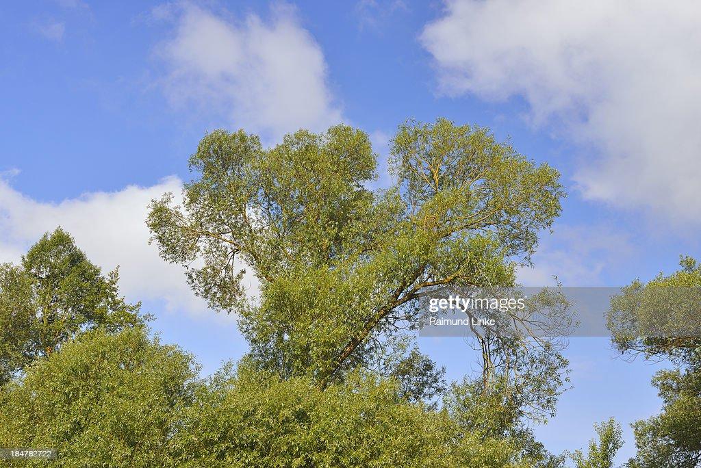 Willow Tree : Stock Photo