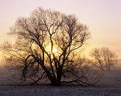 Willow tree -Salix sp.- at sunrise, Hassleben, Thuringia, Germany