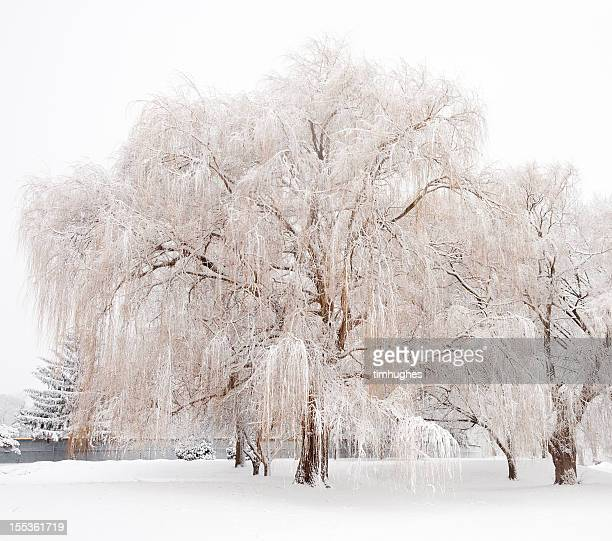 Willow tree with fresh snow