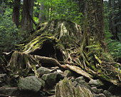 Wilson stump,  Yaku Islands,  Kagoshima Prefecture,  Japan