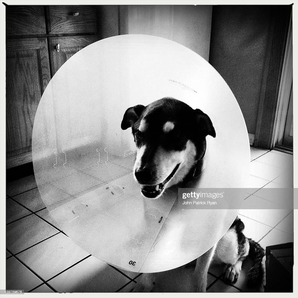 CONTENT] Wilson the Dog wears the Cone of Shame during his recovery from recent illness