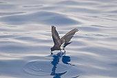 A Wilson's Storm-Petrel, Oceanites oceanicus in flight