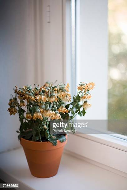 Wilted flowers in terracotta pot on window sill