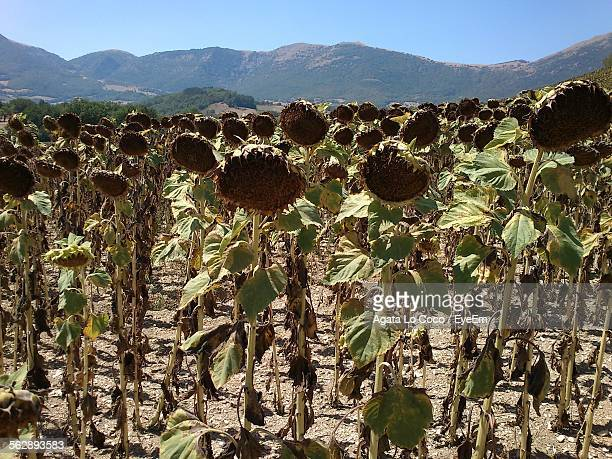 Wilted Sunflowers On Field In Front Of Mountains