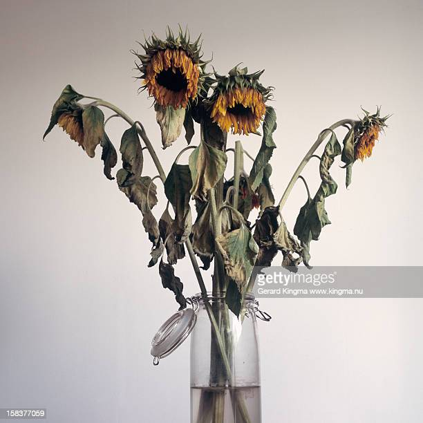Wilted Sunflowers
